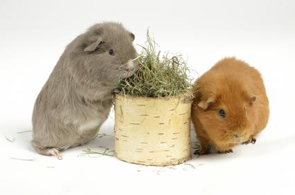 Hamsterpaar