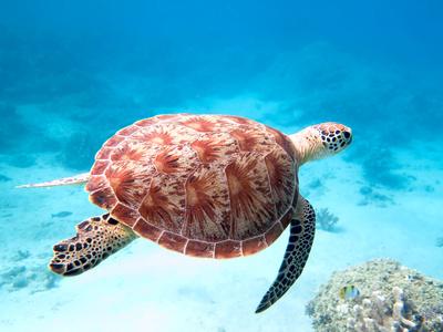 Schildkröten Bilder schwimmt im Meer